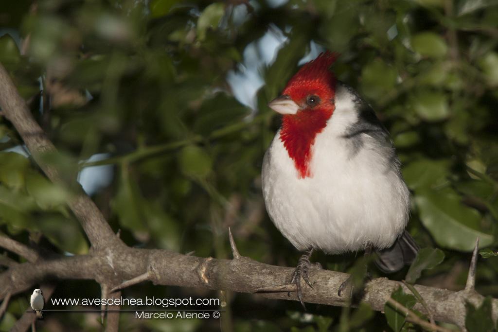 Cardenal común, Red crested Cardinal, Paroaria coronata