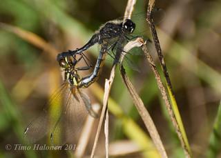 Dragonflies incopula