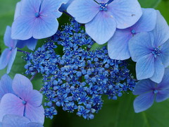 blossom(0.0), purple(0.0), annual plant(1.0), flower(1.0), hydrangea serrata(1.0), plant(1.0), lilac(1.0), flora(1.0), blue(1.0), petal(1.0),