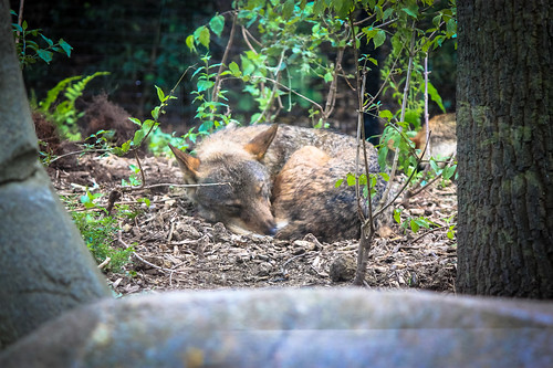 Wolf asleep at Paris Zoo