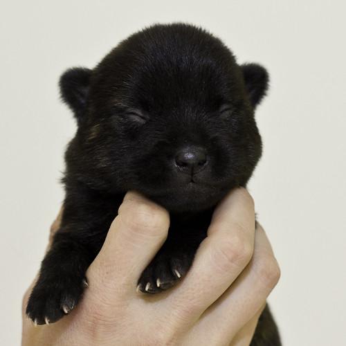Nori-Litter2-10Days-Puppy5(male)a