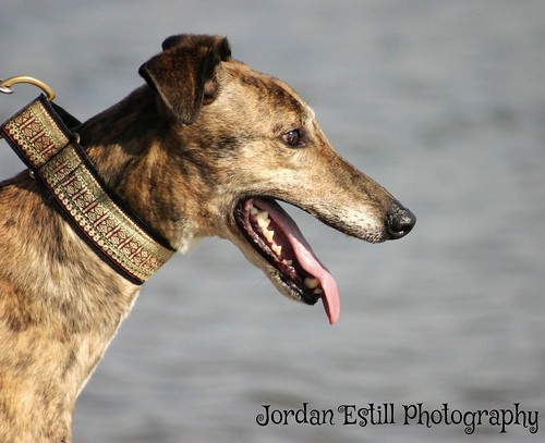 Brin- big brindle boy looking for an experienced home :)  15217060258_b504508a25