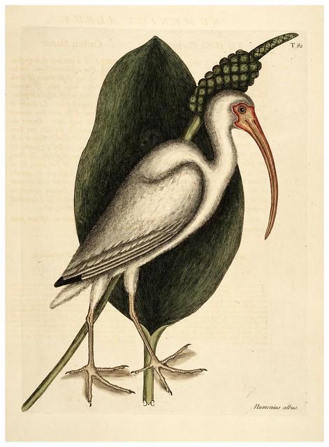010-Alcaravan blanco-Natural History of Carolina, Florida and the Bahama Islands-Vol1-1754