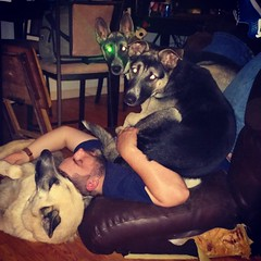 This is what happens when 2 shepskies and a GSD all try to lay on Dad in a recliner. #GSD #shepsky #germanshepherddog #husky #puppy #fell #shenanigans