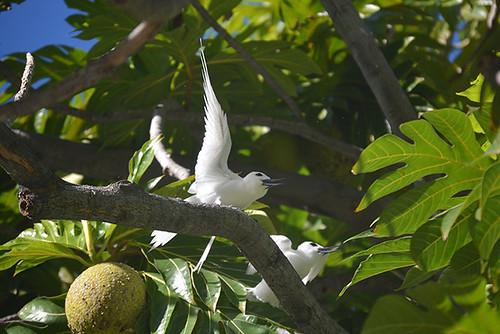 fairy tern parents