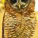 Small photo of African Wood Owl (Strix woodfordii) captive ...