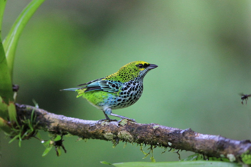 *** Speckled tanager / Calliste tiqueté