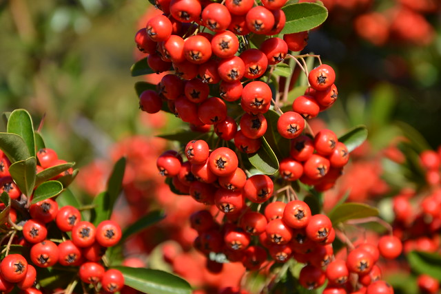 Pyracantha coccinea - buisson ardent 33323194655_466e842be3_z