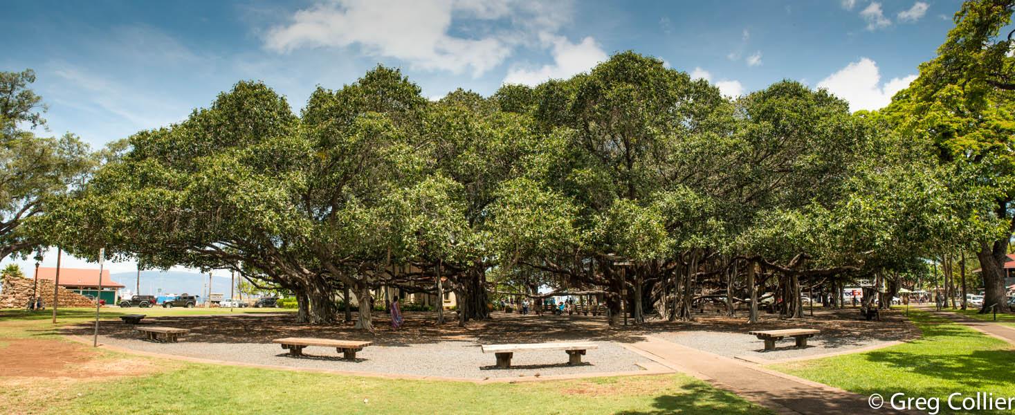 Lahaina_Banyon_tree.jpg