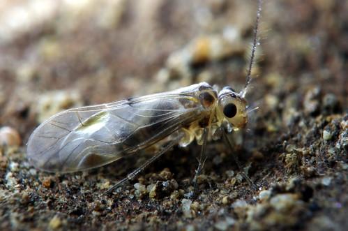 一種生活在野外的嚙蟲(嚙蟲目:嚙蟲科)。(圖片攝影:李鍾旻)