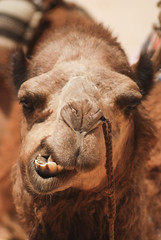 Camels: Such Graceful Creatures