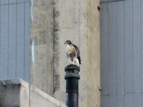 Cathedral Hawk Fledgling (2079)