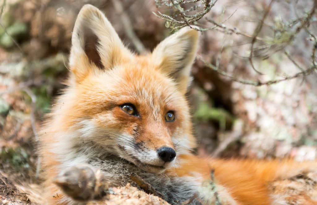Algonquin Park Fox-2.jpg
