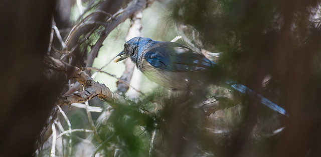 Scrub Jay Though Trees