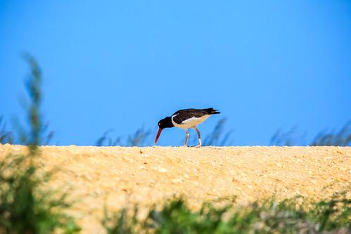 sea bird pie newjersey unitedstates aves eggs oystercatchers galloway charadriiformes haematopus seapie haematopodidae coastalbird ostreros avecostera oystercatcherseggs hematopódidos wadersbird