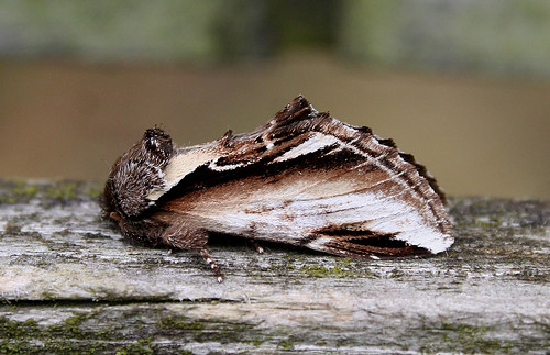 Lesser Swallow Prominent Pheosia gnoma Tophill Low NR, East Yorkshire July 2014