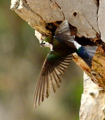 Violet-green Swallow at nest cavity