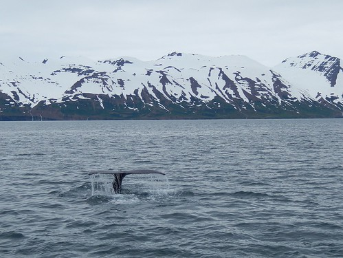 IJsland - Dalvik - whale watching - tail - 2