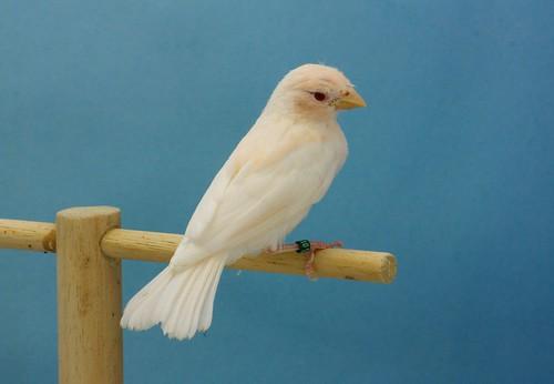 Joven carpodaco albino