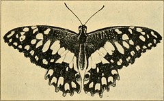 """Image from page 78 of """"A manual of dangerous insects likely to be introduced in the United States through importations"""" (1917)"""