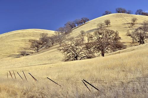 Rangeland blue oaks in winter drought