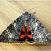 Once-Married Underwing (Catocala unijuga) by Sharon's Bird Photos