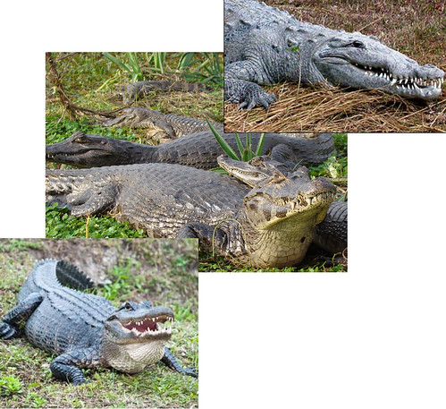 crocodile a caiman and a alligator