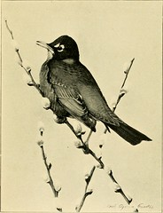 """Image from page 445 of """"Gray lady and the birds; stories of the bird year for home and school"""" (1907)"""