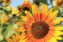 Sunflower at Spina Farms California