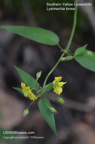 Southern Loosestrife - Lysimachia tonsa