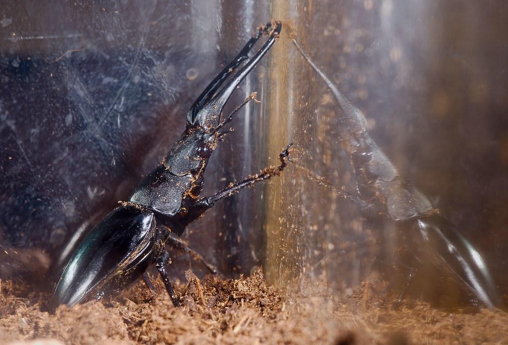Giraffe Stag-Beetle (Prosopocoilus giraffa)_2