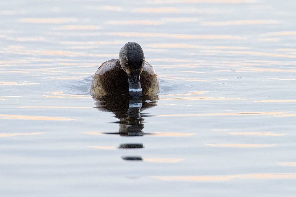 A ring-necked duck starts her dive, her bill just breaking the surface of the water in front of her