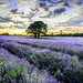 Mayfield Lavender by Sharon- Jayne