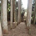 Cryptomeria japonica stand
