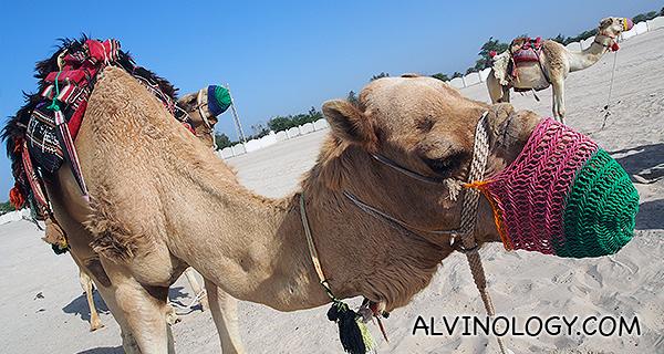 Muzzled camel