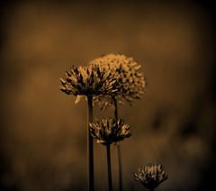 Old Allium