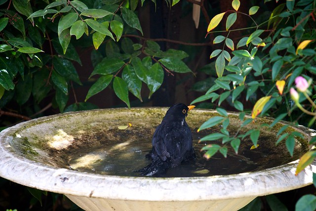 bathing blackbird