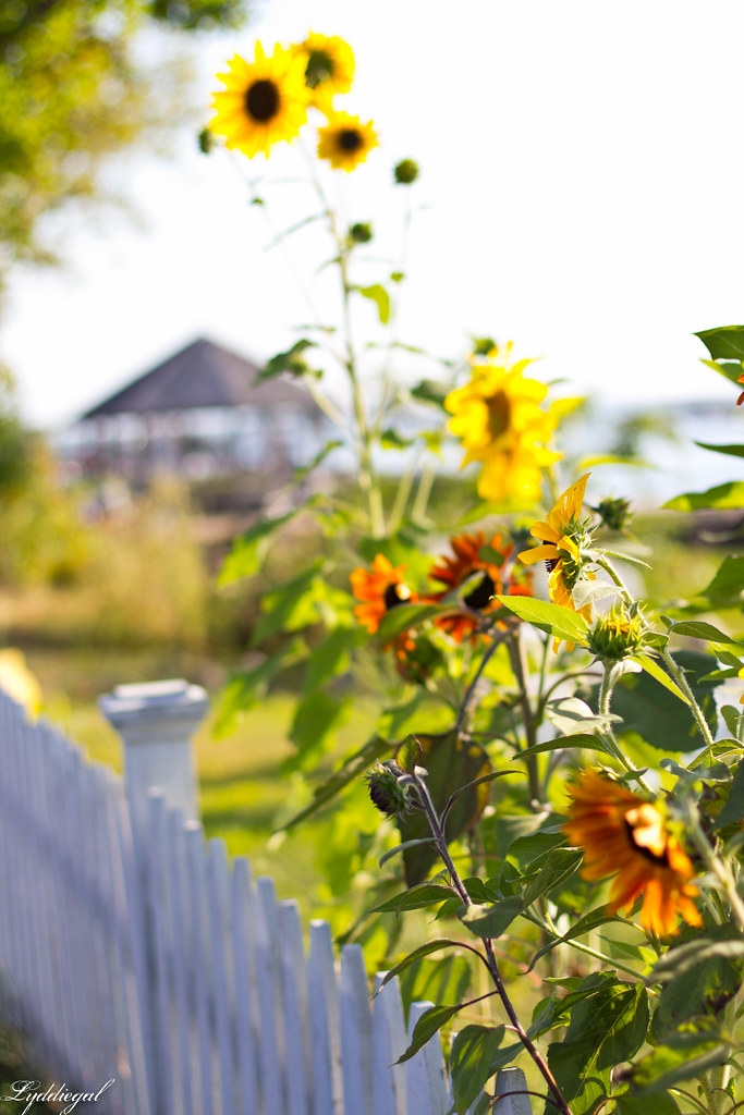 sunflowers at stony creek.jpg