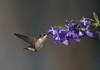 colibri à gorge rubis / ruby throated hummingbird 1