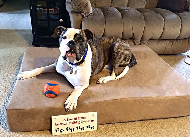 pictures of dogs on big barker beds | big barker