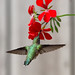 Humming Bird by ritchey.jj