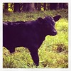 New baby bull #angus #farmer #lovemylife