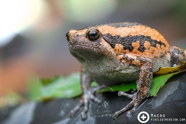 Banded bullfrog- Kaloula pulchra ♀