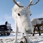 Russia Yamal, Siberia, Nenets nomads