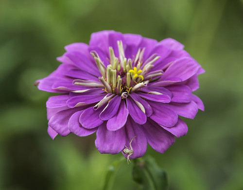 Purple Zinnia Gets a Visitor by Geoff Livingston