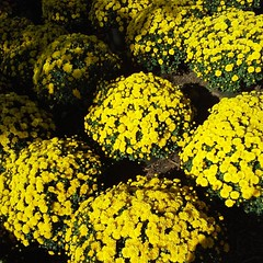 Fall is on the air...sunny yellow mums.