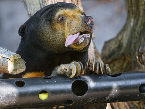 Hungry sun bear with tongue out