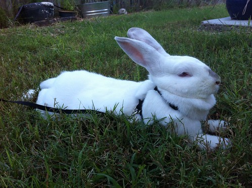 Luna Bunny enjoying her outdoor time!
