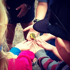 Field Trip for Beau. Bird Banding expedition. This is a Wilson's Warbler just before it flew off.