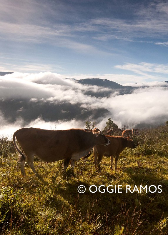 Sagada Kamanbeng Marlboro Hills Grazing Cows at Sunrise